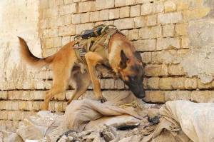 Explosive detection dogs have to be close to the device they are detecting and can not tell you which molecule they are detecting.  Image Source