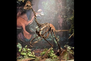 Mounted replica skeleton of the new oviraptorosaurian dinosaur species Anzu wyliei on display in the Dinosaurs in Their Time exhibition at Carnegie Museum of Natural History (source)
