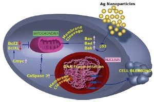 Schematic showing how silver nanoparticles could cause cell death (Image source)